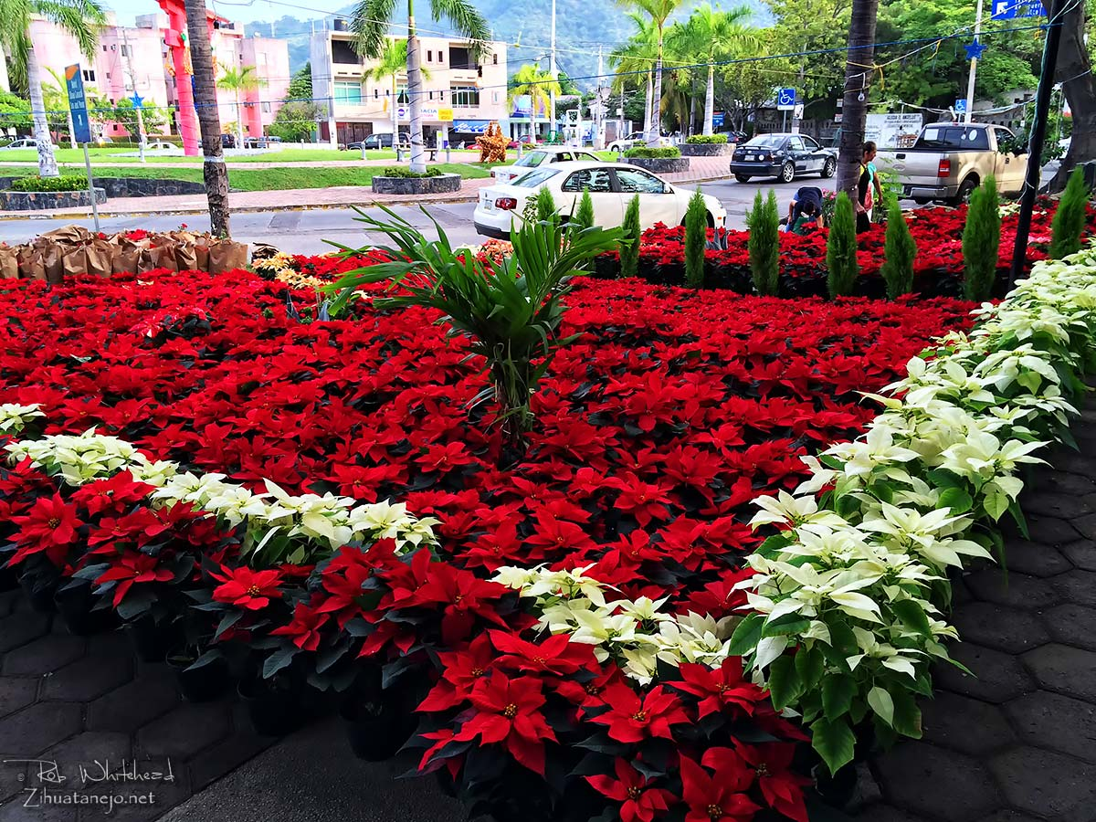 Poinsettias at Plaza Kioto, Zihuatanejo