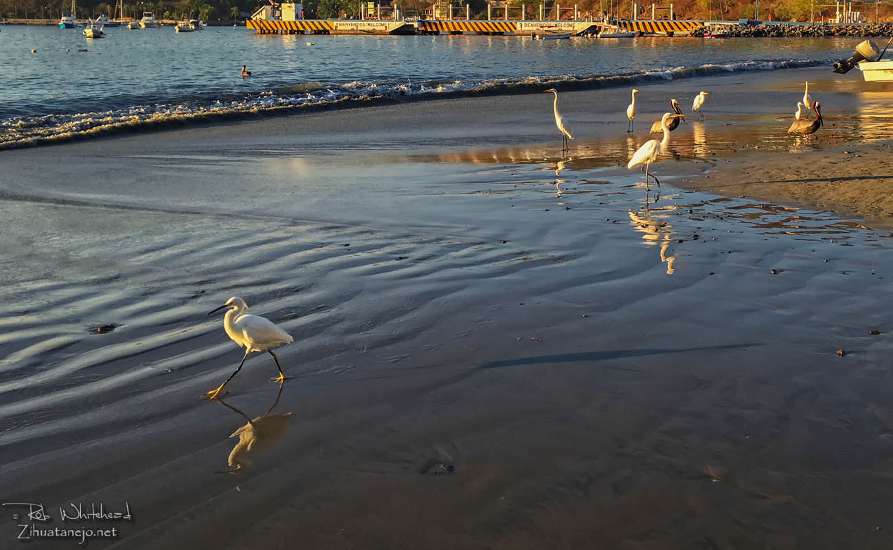 Snowy egrets, great egrets and pelicans, Zihuatanejo